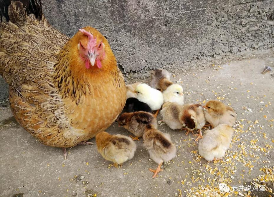 老井说鸡蛋:蛋价短期上涨基本结束